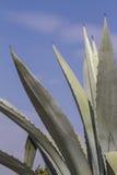 Pianta dell'agave nel giardino Fotografia Stock