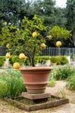 Pianta dell'agrume del limone Immagini Stock