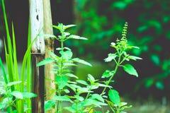 Pianta dell'albero di verde di Tulasi immagine stock libera da diritti