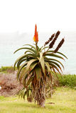 Pianta dell'aloe Fotografia Stock
