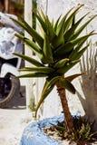 Pianta dell'aloe all'aperto vicino ad una parete in un villaggio greco, Creta, Grecia Fotografia Stock