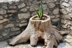 Pianta dell'aloe che cresce nel vecchio troncone dell'albero Fotografie Stock Libere da Diritti