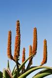 Pianta dell'aloe con i fiori arancio Immagine Stock Libera da Diritti