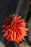 Pianta dell'aloe con il fiore rosso nel verticale Immagini Stock