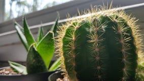 Pianta dell'aloe e del cactus Immagine Stock