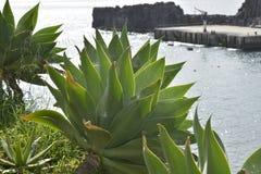 Pianta dell'aloe sul cliffside a Camara de Lobos, Madera, Portogallo Immagine Stock Libera da Diritti