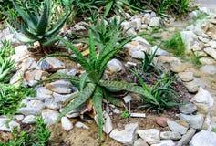 Pianta dell'aloe in un giardino Fotografie Stock Libere da Diritti