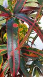 Pianta dell'arcobaleno Fotografia Stock Libera da Diritti