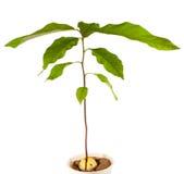 Pianta dell'avocado Immagini Stock Libere da Diritti