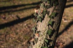 Pianta dell'edera Immagine Stock Libera da Diritti