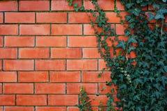 Pianta dell'edera su un muro di mattoni rosso Fotografia Stock