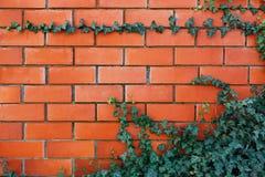 Pianta dell'edera su un muro di mattoni rosso fotografie stock