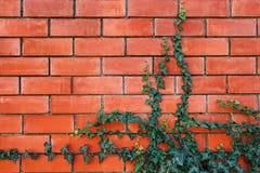 Pianta dell'edera su un muro di mattoni rosso immagine stock libera da diritti