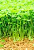 Pianta dell'erba del Motherwort Fotografie Stock
