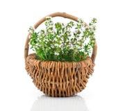 Pianta dell'erba del timo Immagine Stock Libera da Diritti