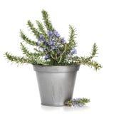 Pianta dell'erba della Rosemary Fotografia Stock Libera da Diritti