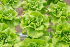 Pianta dell'insalata della lattuga di Butterhead nel sistema idroponico Fotografie Stock Libere da Diritti