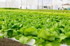 Pianta dell'insalata della lattuga di Butterhead nel sistema idroponico Immagine Stock Libera da Diritti