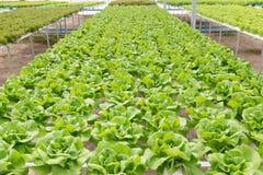 Pianta dell'insalata della lattuga di Butterhead nel sistema idroponico Immagini Stock