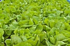 Pianta dell'insalata della lattuga di Butterhead, verdura organica verde Fotografia Stock Libera da Diritti