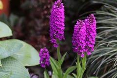 Pianta dell'orchidea di foliosa della dactylorhiza fotografia stock libera da diritti