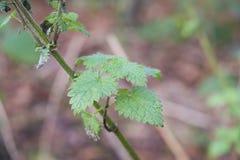 Pianta dell'ortica che cresce selvaggia in terreno boscoso Immagine Stock