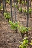 Pianta dell'uva fotografia stock