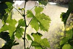 Pianta dell'uva che tratta nella vigna Fotografie Stock Libere da Diritti