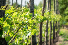 Pianta dell'uva prima della fioritura Fotografia Stock