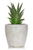 Pianta della Camera in un vaso ceramico Immagine Stock