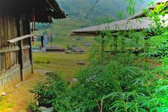 Pianta della canapa nel villaggio di Tavan, distretto di Sapa, Vietnam fotografia stock