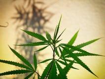 Pianta della cannabis Fotografia Stock
