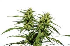 Pianta della cannabis Immagine Stock Libera da Diritti