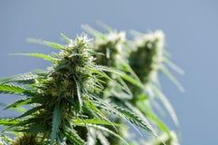 Pianta della cannabis Fotografia Stock Libera da Diritti