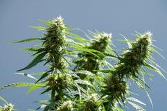 Pianta della cannabis Fotografie Stock Libere da Diritti