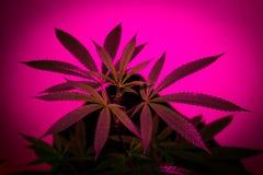 Pianta della cannabis di California Fotografie Stock