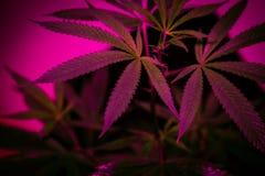 Pianta della cannabis di California Immagini Stock Libere da Diritti