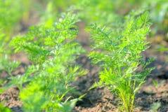 Pianta della carota Fotografia Stock