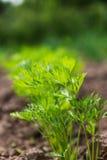 Pianta della carota nel giardino Immagini Stock