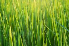 Pianta della carta da parati del riso Fotografia Stock Libera da Diritti