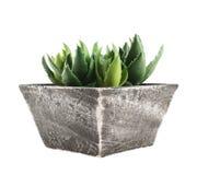 Pianta della casa dell'aloe in un vaso, isolato Immagine Stock