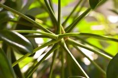 Pianta della casa di arboricola dello Schefflera fotografia stock