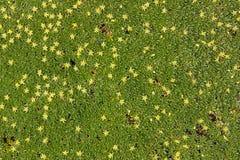 Pianta della copertura al suolo con i piccoli fiori gialli Immagine Stock Libera da Diritti