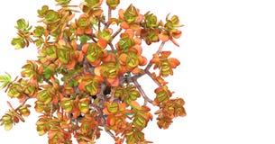 Pianta della crassula dell'albero dei soldi sopra la vista panoramica bianca Fotografia Stock