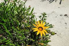 Pianta della duna di sabbia alla penisola Nuova Zelanda NZ del coromandel della spiaggia di Whangamata Immagine Stock