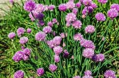 Pianta della erba cipollina Immagini Stock