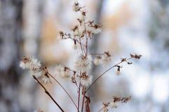 Pianta della foresta con il pappus Immagini Stock