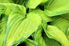 Pianta della hosta con le gocce di pioggia Immagini Stock Libere da Diritti