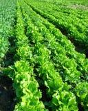 Pianta della lattuga nel campo Immagine Stock