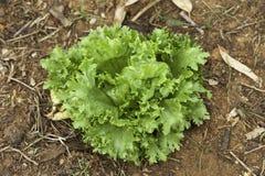 Pianta della lattuga in orto Immagini Stock Libere da Diritti